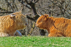 Highland Cattle. Two Highland Cattle sitting face to face royalty free stock images