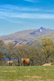 Highland Cattle. In the fields of Scotland royalty free stock photos