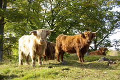 Highland cattle Royalty Free Stock Images