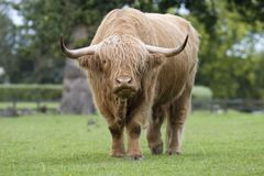 Highland cattle. A shaggy highland cattle in a field Stock Photography