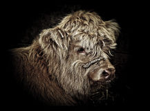 Highland Cattle. Head of a highland cattle calf Stock Images