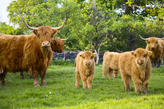 Highland Cattle. Herd with calves in countryside scene Royalty Free Stock Photography