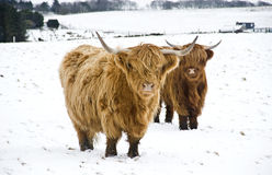 Highland cattle. Two Highland cattle in snowy pasture in Scotland Stock Images