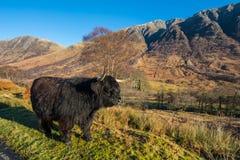 Free Highland Cattle Royalty Free Stock Image - 86529386