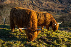 Free Highland Cattle Royalty Free Stock Photos - 86529688