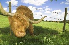 Highland cattle. Highland cow peering through fence Stock Photo