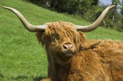 Highland cattle. Highland cow resting in field Stock Image