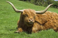 Highland cattle. Highland cow resting in field Stock Images