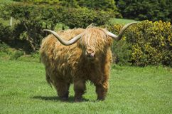 Highland cattle Stock Photography