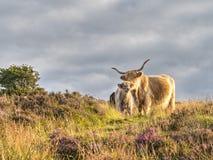 Highland cattle amongst heather on Exmoor, Somerset,UK. Cow with Stock Photo