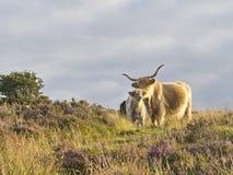 Highland cattle amongst heather on Exmoor, Somerset,UK. Royalty Free Stock Photo