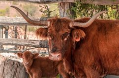 Highland Cattle in Australia Stock Photo