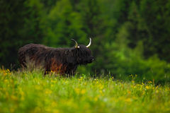 Highland cattle, big animal in the flowered meadow, they have long horns and long wavy coats that are coloured black, brindle, red Royalty Free Stock Photos
