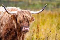 Highland cattle - Bo Ghaidhealach -Heilan coo - a Scottish cattle breed with characteristic long horns and long wavy stock images