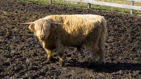 Highland Cattle-bos taurus royalty free stock photo