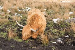 Highland Cattle in a muddy field in winter royalty free stock image