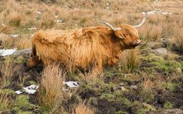 Highland Cattle in a muddy field in winter royalty free stock photography