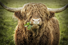 Highland cattle bull chewing leaves Royalty Free Stock Photography