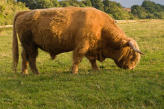 Highland cattle bull grazing Stock Photography
