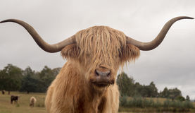 Highland cattle bull with long horns Stock Photo