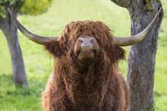 Highland cattle bull raised head Stock Images