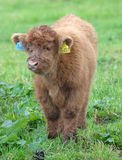 Highland Cattle Calf 1. A Highland breed calf, in the rain with wet fur royalty free stock photos
