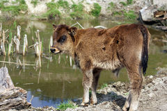 Highland cattle calf Stock Images