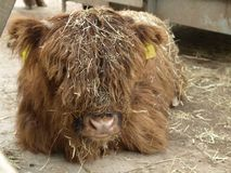 Highland Cattle calf. The head of a highland cattle calf Stock Photo