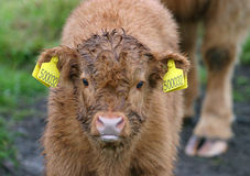 Highland Cattle Calf 2. Highland beed calf, in the rain with wet fur. Very cute expression royalty free stock photography