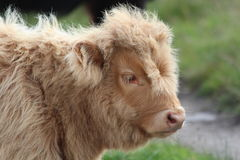 Highland Cattle Calf. A head and shoulder view of a cute highland cattle calf Stock Photography