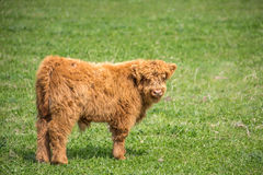 Highland cattle calf head and shoulders Stock Images