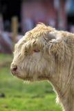 Highland Cattle Calf Portrait Stock Photography