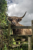 Highland Cattle in Cornwall Uk England Royalty Free Stock Images