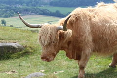 Highland Cattle Countryside scene Stock Photography