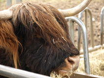 Highland Cattle cow. The head of a highland cattle cow Stock Images