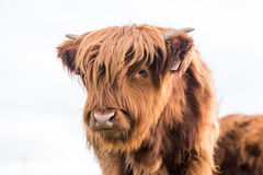 Highland cattle cow. Highland cattle cow in the czech republic Stock Photos