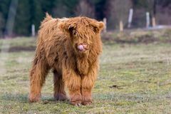 Highland cattle cow. Royalty Free Stock Image