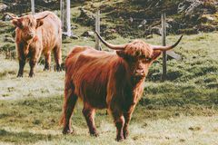 Highland Cattle Cow farm animals. Long hair and horns classic Scottish breed royalty free stock images