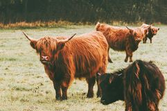 Highland Cattle Cow group farm animals. Long hair and horns classic Scottish breed Royalty Free Stock Photography