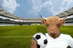 Highland Cattle Cow holding a soccer ball