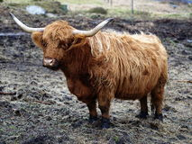 Highland cattle. Cow, Jizera Mountains Royalty Free Stock Image