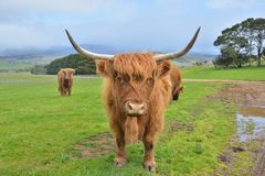 Highland cattle cow Royalty Free Stock Photography