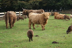 Highland cattle cow and sheep in a farm Royalty Free Stock Image
