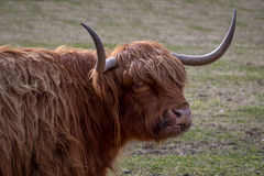 Highland cattle Royalty Free Stock Photos