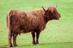 Highland cattle cow Royalty Free Stock Photos