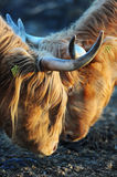 Highland cattle. Highland cows butting with each other Royalty Free Stock Photography