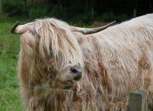 Highland Cattle Stock Photo
