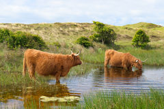 Highland cattle drinking water Stock Images