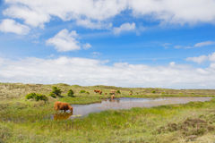 Highland cattle drinking water Royalty Free Stock Photo