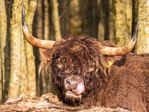 Highland cattle in Dutch nature reserve royalty free stock photos